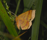 Thin-lined Erastria Moth (6705)