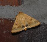Corn Earworm Moth (11068)
