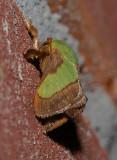 Smaller Parasa Moth (4698)