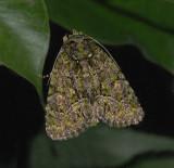 Spotted Phosphila Moth (9619)