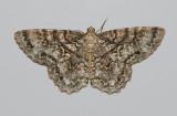 Tulip Tree Beauty Moth (6599)
