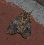 Angulose Prominent Moth (7920)