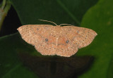 Packard's Wave Moth (7136)