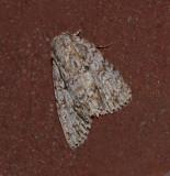 Retarded Dagger Moth (9251)