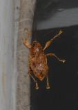 Acorn Weevil