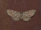 Texas Gray Moth (6443)