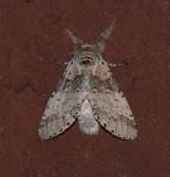 Gray Furcula Moth (7937)