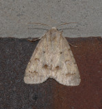 Birch Dagger Moth (9208)