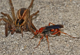 Spider Wasps and related wasps