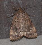 Copper Underwing (9638)