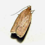 Dotted Leaftier Moth (0957)