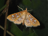Baccatalis Moth (5152)