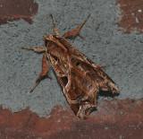 Florida Fern Moth (9630)