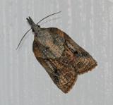 Tufted Apple Bud Moth (3740)