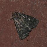 Dusky Groundling Moth (9696)