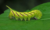 Rustic Sphinx Caterpillar (7778)