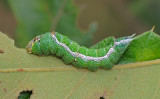 Pink Prominent Moth Caterpillar (8022)