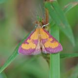 Southern Purple Mint Moth (5070)