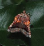 Trumpet Vine Moth (5563)