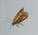 Packard's Lichen Moth (8072)