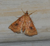 Mint Root Borer Moth (4950)
