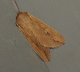Armyworm Moth (10438)