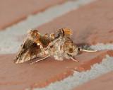 Common Looper Moth (8908)