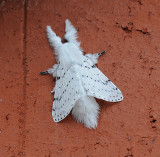 Dot-lined White Moth (7683)