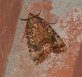 Copper Underwing Moth (9638)