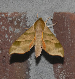 Virginia-creeper Sphinx (7885)