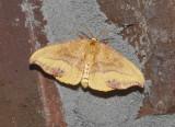 Rose Hooktip Moth (6255)