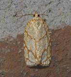 Oak Leafroller Moth (3623)