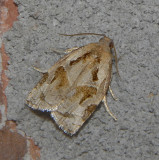 Gray Archips Moth (3660)