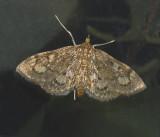 Crowned Phlyctaenia (4953)