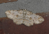 Brown-shaded Gray Moth (6586)