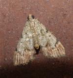 Dimorphic Macalla Moth (5577)