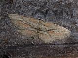 Dainty Gray Moth (6452)