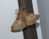 Eastern Tent Caterpillar Moth (7701)