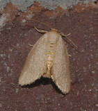 Drab Prominent Moth (7974)