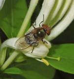 Copestylum sp.