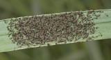 Large Yellow Underwing Moth Larvae (11003.1)