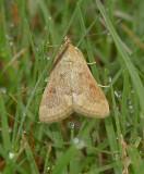 Garden Webworm Moth (4975)