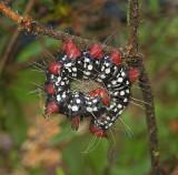 Azalea Caterpillar Moth  (7905)