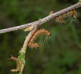 Drexel's Datana Moth Caterpillar (7904)