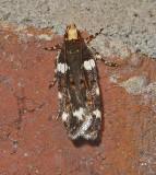 Redbud Leaffolder Moth (2204)