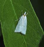 Milky Urola Moth (5463)
