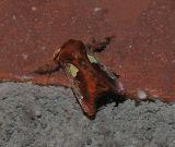 Spiny Oak-slug Moth (4697)