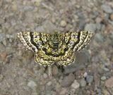 Black-banded Orange Moth (6321 B)