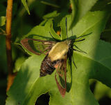 Snowberry Clearwing Moth Female (7855)