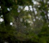 Web of Orb Weaver Spider